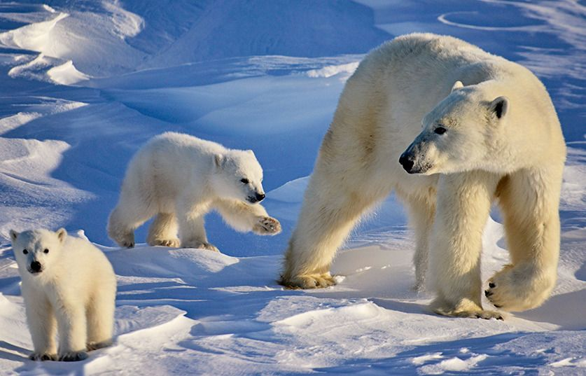 polar bear international Canada goose - circle fashion
